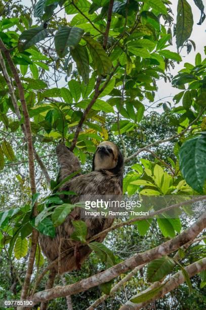 Three-toed sloth in a tree