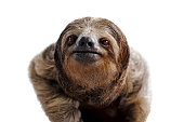 close-up of a three-toed sloth in costa rica on white background
