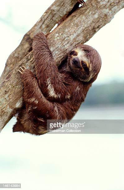 ThreeToed Tree Sloth Amazon Brazil South America