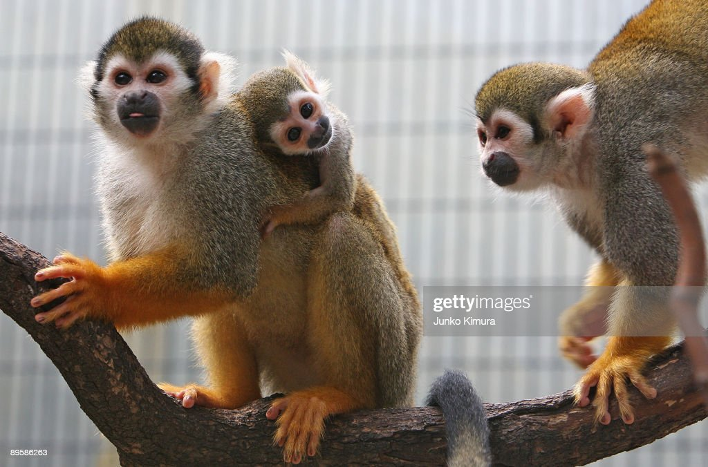 A three-week-old baby squirrel monkey clings to its mother's back at Edogawa Natural Zoo on August 4, 2009 in Tokyo, Japan.