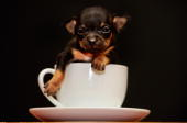 A threeweekold Chihuahua puppy named Tom Thumb poses in a tea cup on April 7 2009 in Renton Scotland An unofficial measurement taken by the owner...