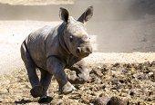 A threeweekold female White Rhinoceros runs at the Ramat Gan Safari an openair zoo near Tel Aviv on September 3 2014 The Safari Park reported that...