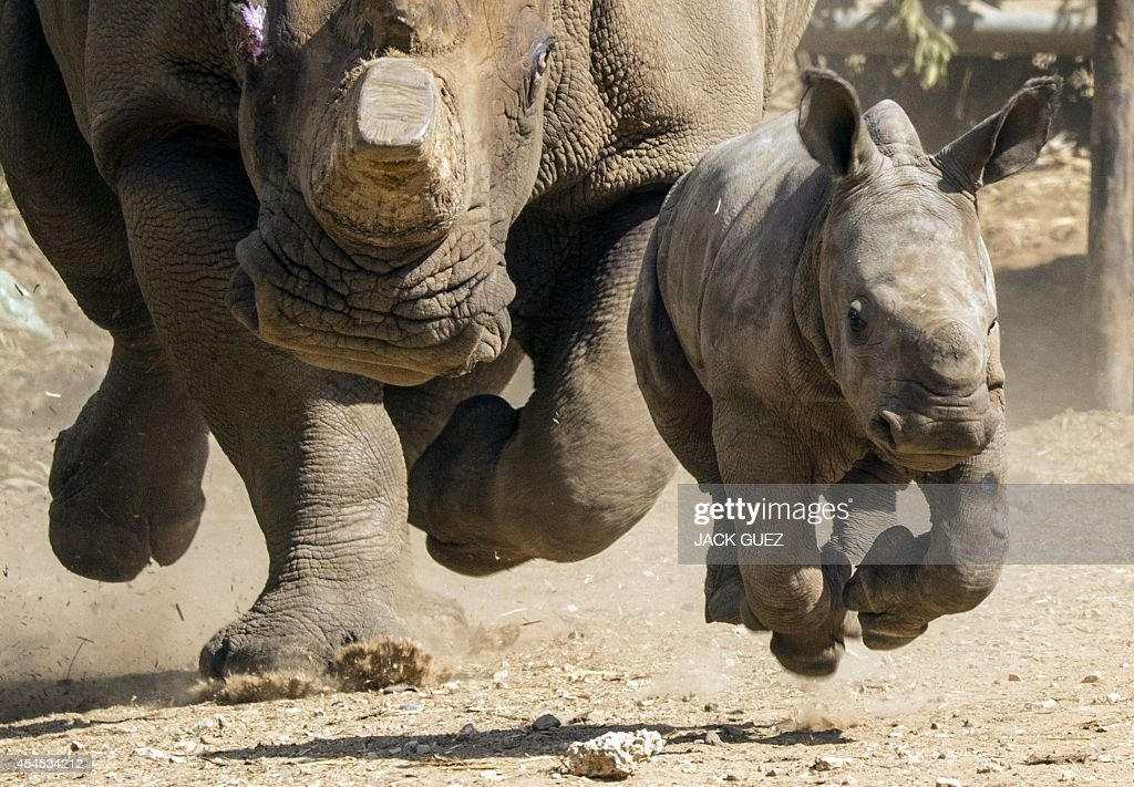 Threeweekold female White Rhinoceros runs with her mother Tanda at the Ramat Gan Safari an openair zoo near Tel Aviv on September 3 2014 The Safari...