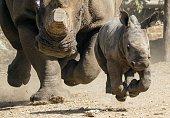 Threeweekold female White Rhinoceros runs with her mother Tanda at the Ramat Gan Safari an openair zoo near Tel Aviv on September 3 2014 The Safari...