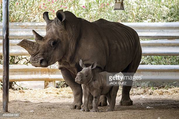 Threeweekold female White Rhinoceros stands next to her mother Tanda at the Ramat Gan Safari an openair zoo near Tel Aviv on September 3 2014 The...