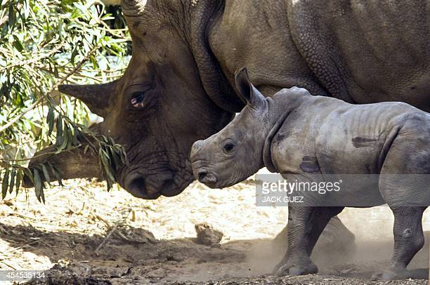 A threeweekold female White Rhinoceros stands next to her mother Tanda at the Ramat Gan Safari an openair zoo near Tel Aviv on September 3 2014 The...