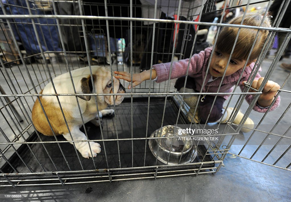 Three-year old Hungarian Cintia tries to play with a young English bulldog at the Budapest Fair Center on February 17, 2012 during the first international dog exhibition and racing of this year organized by the Hungarian Kennel Club.