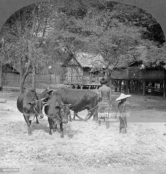 Threshing rice Amarapura Burma 1908 Stereoscopic card Detail