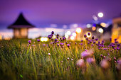 An atmospheric night time view of Thrift (Armeria maritima) growing wild along the seafront in Southbourne, Dorset. In the distance, a small building provides shelter against rain and wind for tourist