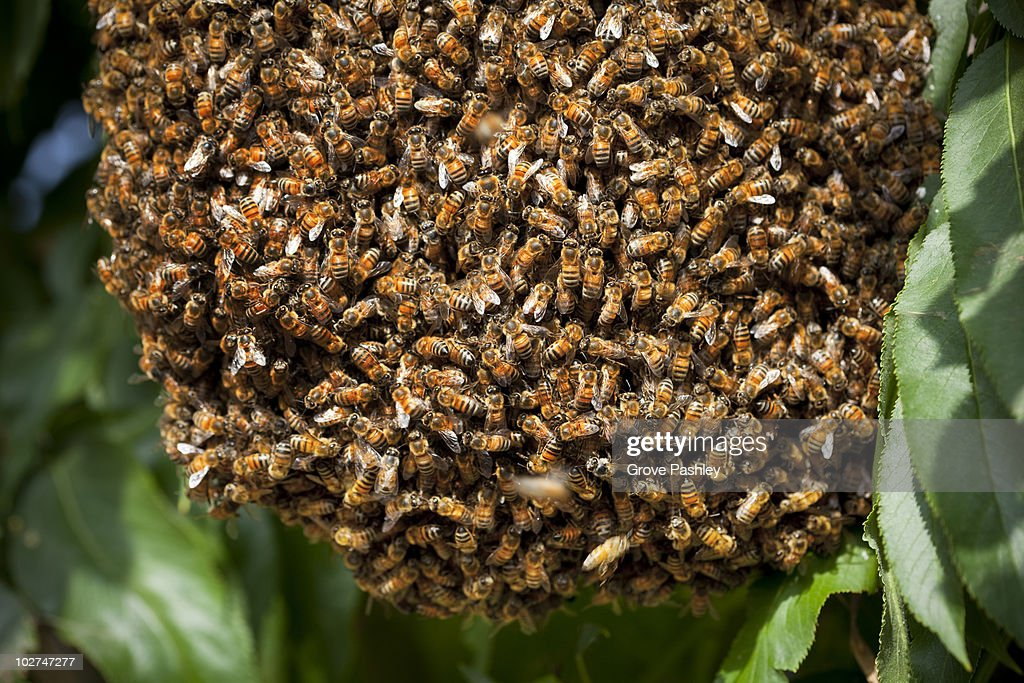 Throng of Honey Bees in a tree, close-up. : Stock Photo