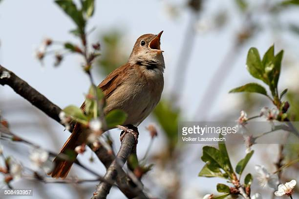 Thrush Nightingale -Luscinia luscinia-, male, singing on territory, Mecklenburg-Western Pomerania, Germany