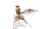 Thrush nightingale , Sprosser singing on grass