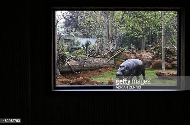 Thug a 17yearold pygmy hippo moves around in a new enclosure equipped with solar panels at London Zoo in London on April 3 2014 Often mistaken for...