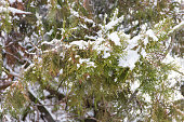 Thuja branches covered with snow