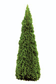 Thuja occidentalis 'Smaragd', Warm Green American Arborvitae Occidental Smaragd Wintergreen, Isolated On White