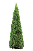 Thuja occidentalis 'Smaragd', Warm Green American Arborvitae Occidental Smaragd Wintergreen, Isolated