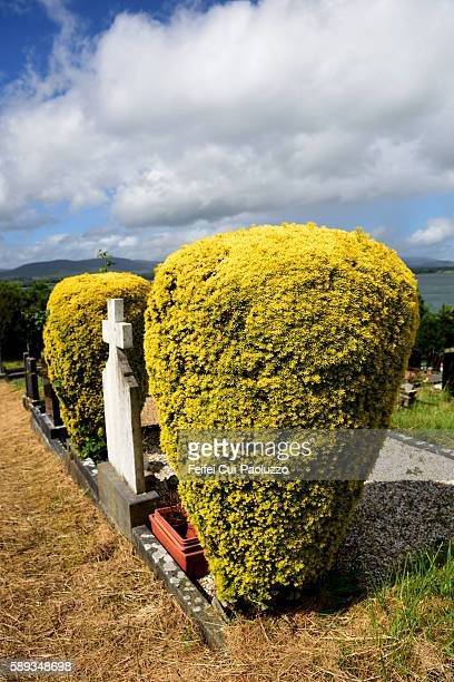 Thuja trees and Headstone at Cemetery of Bantry in Cork County of Ireand