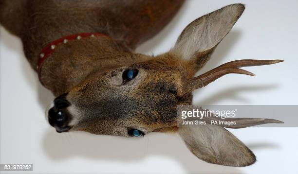 Thumper the wild deer saved from a canal in Leeds city centre is cared for at the Whitehall Dog Rescue Home near Wakefield
