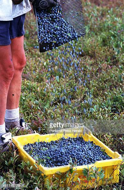 A RODGERS Thursday August 6 1998 Blueberries are poured into a plastic basket during the blueberry harvest in Washington County