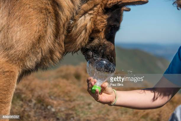 Thursty german shepard dog drinking water from a bottle, Rodna Mountains, Transylvania
