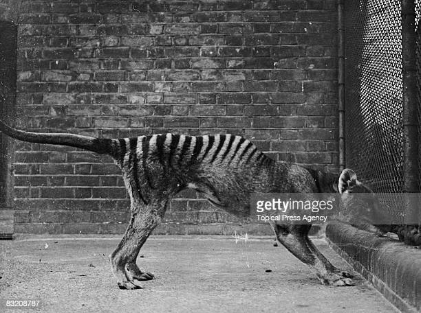 A thylacine or 'Tasmanian wolf' or 'Tasmanian tiger' in captivity circa 1930 These animals are thought to be extinct since the last known wild...