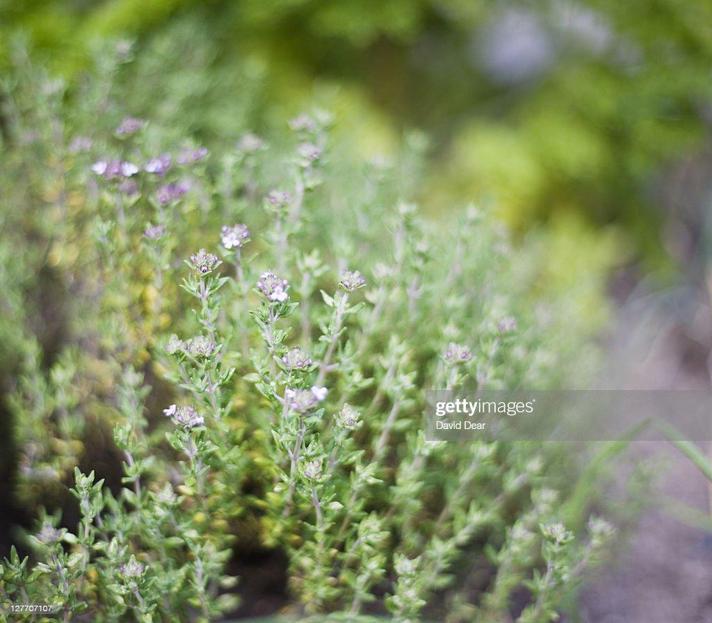 Thyme (Thymus vulgaris), close-up