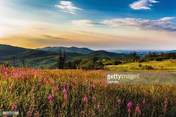 Thyme Blume Feld im Sonnenuntergang