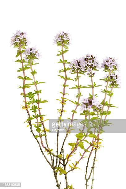 Thym Plant isolé sur blanc