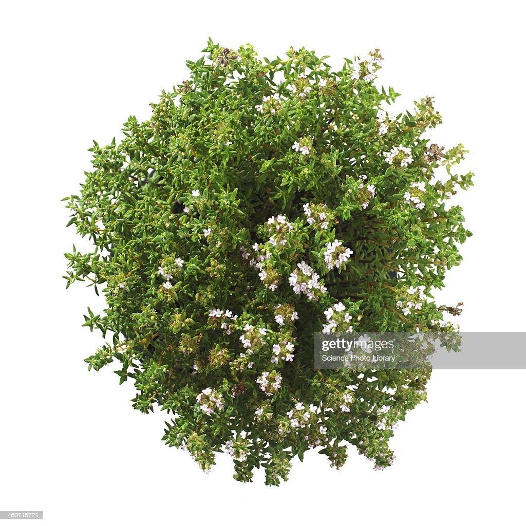 Thyme Thymus vulgaris plant