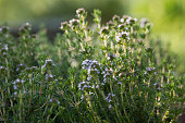 Thymus Flowers in the Sunset