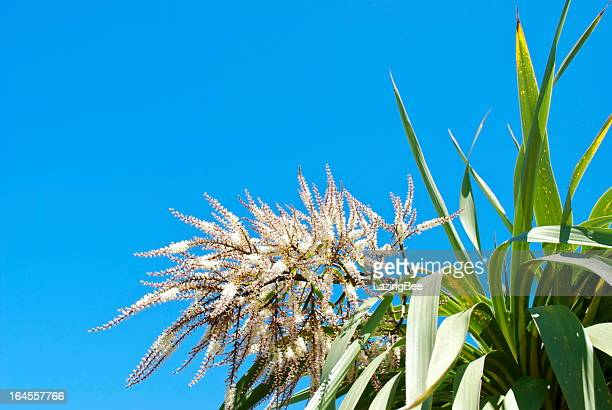 Ti Kouka (Cordyline australis) in Flower