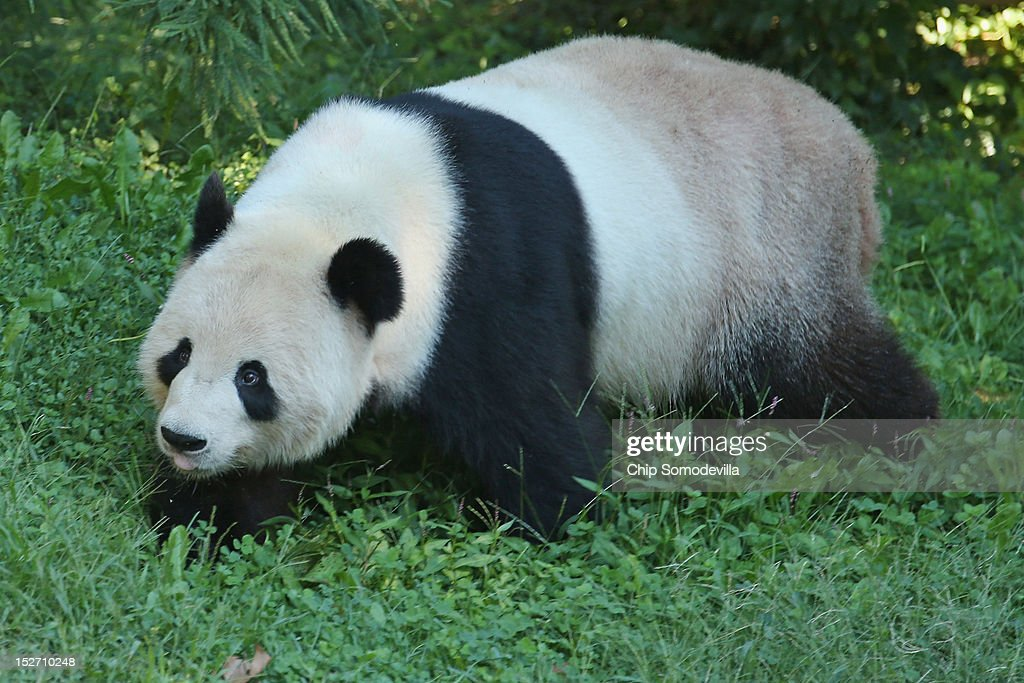 Tian Tian, the 275-pound male giant panda at the Smithsonian National Zoological Park, moves around in his outdoor enclosure the day after the death of a six-day-old panda cub at the zoo September 24, 2012 in Washington, DC. The preliminary necropsy of the 4-ounce female cub did not immediately reveal the cause of death but zoo Chief Veterinarian Dr. Suzan Murray said the initial exam made it appear the cub was not crushed by her mother.