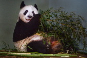 Tian Tian the female panda at Edinburgh zoo sits inside her enclosure on April 4 2014 in EdinburghScotland Experts at the zoo have been monitoring...