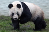 Tian Tian the female panda bear looks out from her enclosure as members of the public view her for the first time at Edinburgh Zoo on December 16...