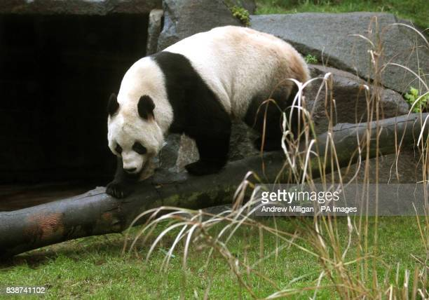 Tian Tian the panda in its enclosure at Edinburgh Zoo as members of the public are let in for the first time to see the animalsPicture date Friday...