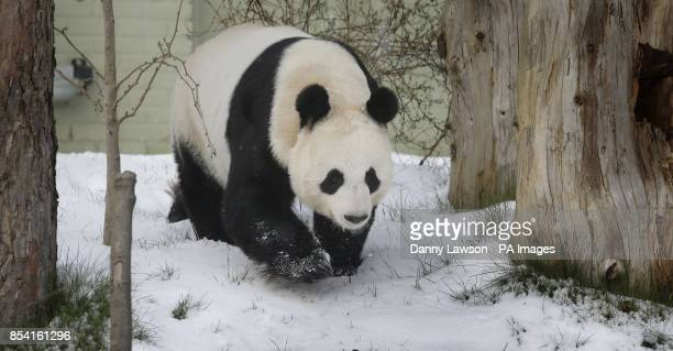 Tian Tian the Panda plays in the snow at Edinburgh Zoo