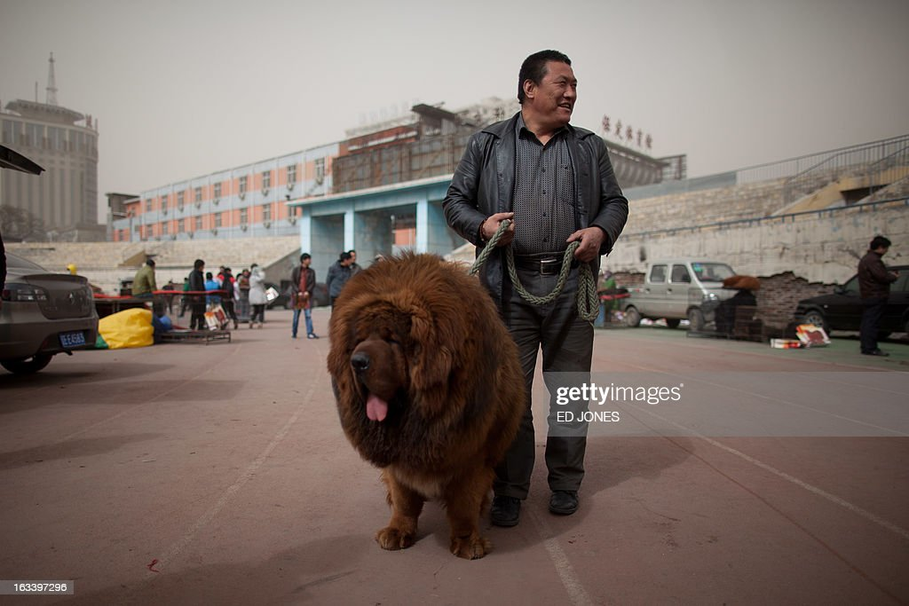 A Tibetan mastiff dog is displayed at a mastiff show in Baoding, Hebei province, south of Beijing on March 9, 2013. Fetching prices up to around 750,000 USD, mastiffs have become a prized status-symbol amongst China's wealthy, with rich buyers across the country sending prices skyrocketing. Owners say the mastiffs, descendents of dogs used for hunting by nomadic tribes in central Asia and Tibet are fiercely loyal and protective. Breeders still travel to the Himalayan plateau to collect young puppies, although many are unable to adjust to the low altitudes and die during the journey. AFP PHOTO / Ed Jones