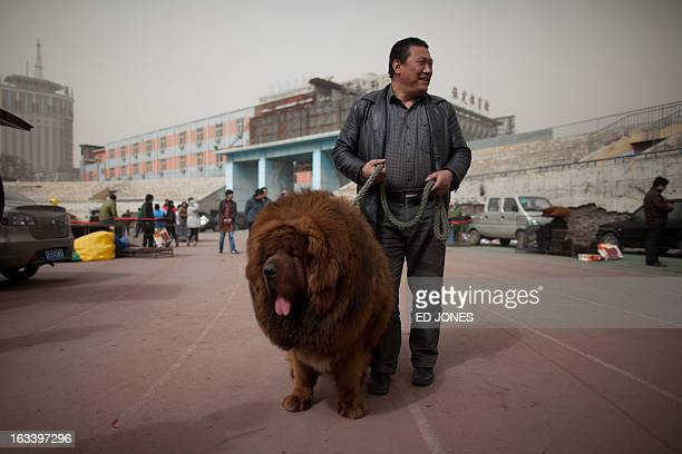 A Tibetan mastiff dog is displayed at a mastiff show in Baoding Hebei province south of Beijing on March 9 2013 Fetching prices up to around 750000...