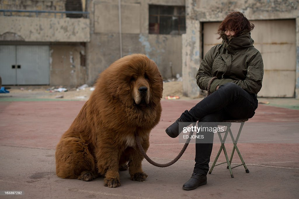 A Tibetan mastiff dog is displayed for sale at a mastiff show in Baoding, Hebei province, south of Beijing on March 9, 2013. Fetching prices up to around 750,000 USD, mastiffs have become a prized status-symbol amongst China's wealthy, with rich buyers across the country sending prices skyrocketing. Owners say the mastiffs, descendents of dogs used for hunting by nomadic tribes in central Asia and Tibet are fiercely loyal and protective. Breeders still travel to the Himalayan plateau to collect young puppies, although many are unable to adjust to the low altitudes and die during the journey. AFP PHOTO / Ed Jones