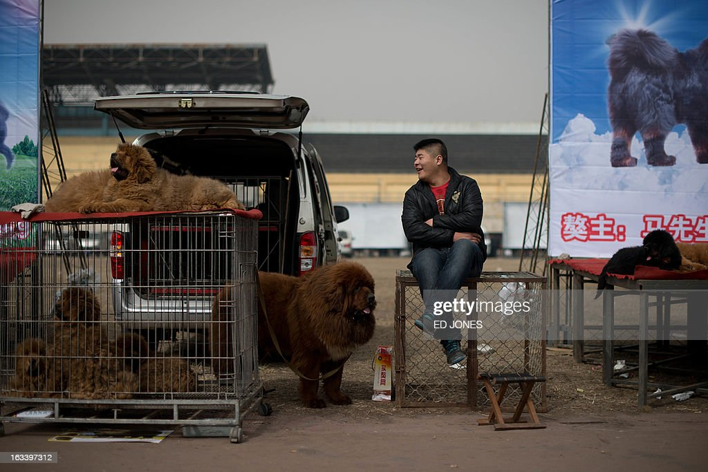 Tibetan mastiff dogs are displayed at a mastiff show in Baoding, Hebei province, south of Beijing on March 9, 2013. Fetching prices around 750,000 USD, mastiffs have become a prized status-symbol amongst China's wealthy, with rich buyers across the country sending prices skyrocketing. Owners say the mastiffs, descendents of dogs used for hunting by nomadic tribes in central Asia and Tibet are fiercely loyal and protective. Breeders still travel to the Himalayan plateau to collect young puppies, although many are unable to adjust to the low altitudes and die during the journey. AFP PHOTO / Ed Jones
