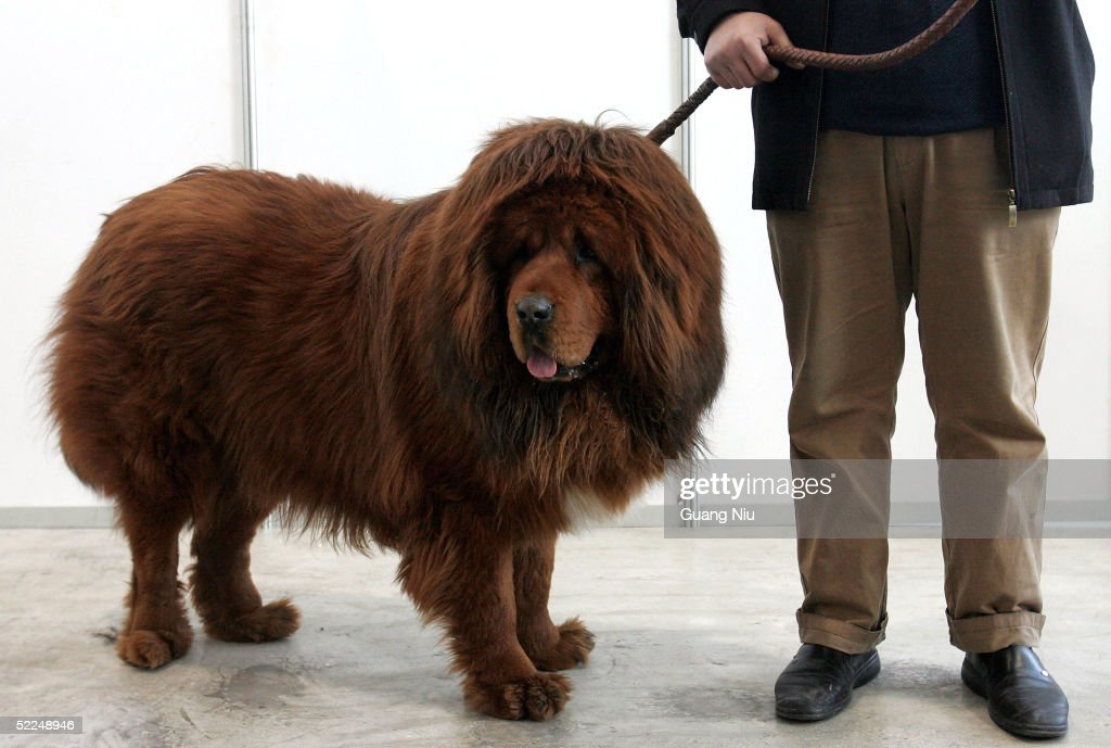 A Tibetan Mastiff is displayed at a Tibetan Mastiff exposition on February 27, 2005 in Longfang, some 100 kilometers southeast of Beijing, China. The Tibetan Mastiff is a large breed of guard dog from the Himalayas. Bred to guard monasteries, villages, nomadic camps and livestock herds, it is very renowned for its loyalty and territorial nature.