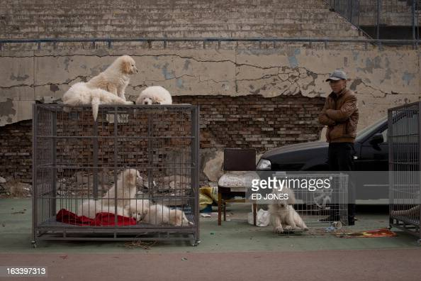 Tibetan mastiff puppies are displayed at a mastiff show in Baoding Hebei province south of Beijing on March 9 2013 Fetching prices around 750000 USD...