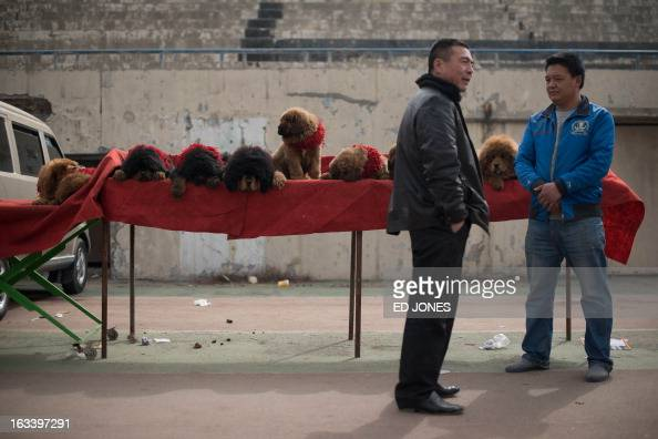 Tibetan mastiff puppies are displayed for sale at a mastiff show in Baoding Hebei province south of Beijing on March 9 2013 Fetching prices up to...