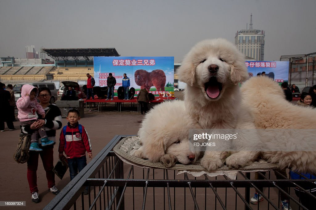 Tibetan mastiff puppies are displayed for sale at a mastiff show in Baoding Hebei province south of Beijing on March 9 2013 Fetching prices around...