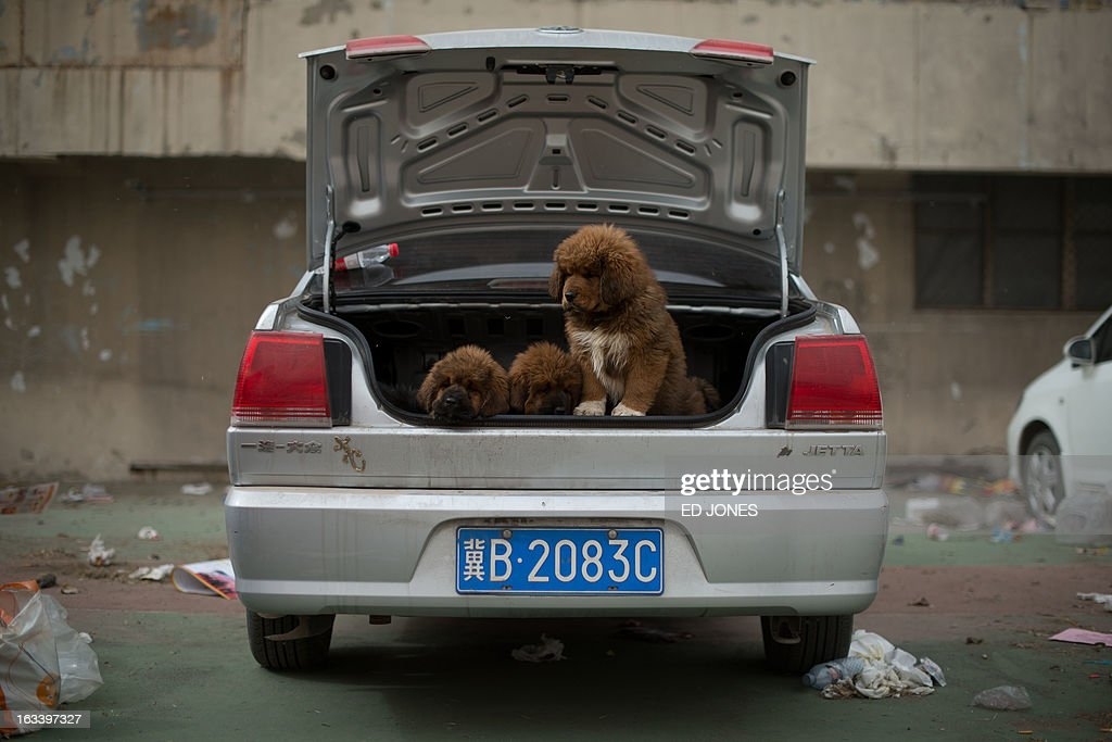 Tibetan mastiff puppies are displayed for sale at a mastiff show in Baoding, Hebei province, south of Beijing on March 9, 2013. Fetching prices around 750,000 USD, mastiffs have become a prized status-symbol amongst China's wealthy, with rich buyers across the country sending prices skyrocketing. Owners say the mastiffs, descendents of dogs used for hunting by nomadic tribes in central Asia and Tibet are fiercely loyal and protective. Breeders still travel to the Himalayan plateau to collect young puppies, although many are unable to adjust to the low altitudes and die during the journey. AFP PHOTO / Ed Jones