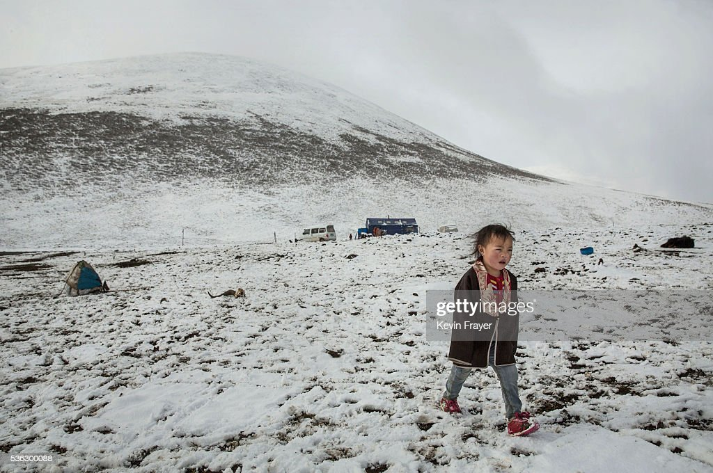 A Tibetan nomad boy walks at a temporary camp for cordycep harvesting after a fresh snowfall on the 15th day of Saka Dawa, the holiest day of the Buddhist calendar when it is prohibited to pick cordycep fungus on May 21, 2016 near Sershul on the Tibetan Plateau in the Garze Tibetan Autonomous Prefecture of Sichuan province. The Tibetan Plateau is home to the cordyceps fungus, also known as caterpillar fungus, is a parasitic spore that thrives in high altitude, low temperature conditions on the Tibetan plateau. While not historically a part of Tibetan culture, cordyceps are a prized ingredient of traditional Asian medicinal treatments that purportedly heal ailments ranging from asthma to impotence to cancer. Demand in China alone has created a booming economy for what Tibetans call yartsa gunbu, or summer grass, winter worm, which sells for up to $50,000 US per pound. As the state-supported cordyceps industry has developed, Tibetans who rely primarily on farming and herding have turned to the weeks-long harvest as a means of earning income to last through the year. The annual gold rush has transformed parts of rural Tibetan areas, generating about 40% of the local economy. However, environmentalists increasingly warn that over-harvesting of cordyceps carries the cost of degradation to mountain grasslands that are essential for yak and cattle grazing. Due to below average rainfall the 2016 harvest is expected to be the lowest on record with many harvesters reporting yields way lower then expectations.