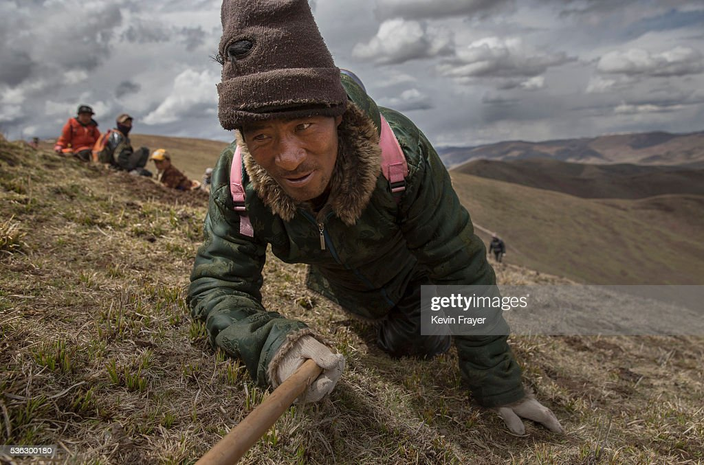 A Tibetan nomad crawls while harvesting cordycep fungus on May 20, 2016 near Sershul on the Tibetan Plateau in the Garze Tibetan Autonomous Prefecture of Sichuan province. The Tibetan Plateau is home to the cordyceps fungus, also known as caterpillar fungus, is a parasitic spore that thrives in high altitude, low temperature conditions on the Tibetan plateau. While not historically a part of Tibetan culture, cordyceps are a prized ingredient of traditional Asian medicinal treatments that purportedly heal ailments ranging from asthma to impotence to cancer. Demand in China alone has created a booming economy for what Tibetans call yartsa gunbu, or summer grass, winter worm, which sells for up to $50,000 US per pound. As the state-supported cordyceps industry has developed, Tibetans who rely primarily on farming and herding have turned to the weeks-long harvest as a means of earning income to last through the year. The annual gold rush has transformed parts of rural Tibetan areas, generating about 40% of the local economy. However, environmentalists increasingly warn that over-harvesting of cordyceps carries the cost of degradation to mountain grasslands that are essential for yak and cattle grazing. Due to below average rainfall the 2016 harvest is expected to be the lowest on record with many harvesters reporting yields way lower then expectations.