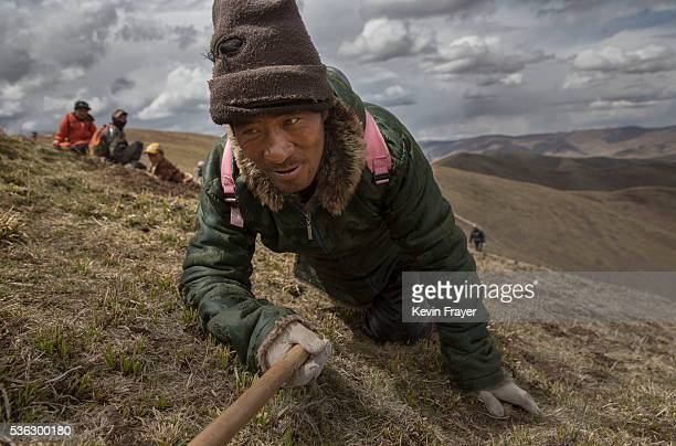 Tibetan nomad crawls while harvesting cordycep fungus on May 20 2016 near Sershul on the Tibetan Plateau in the Garze Tibetan Autonomous Prefecture...