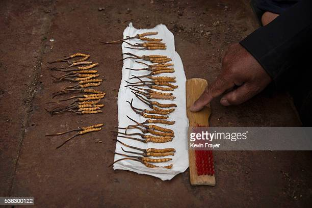 Tibetan nomad lays out his cleaned cordycep fungus for sale at a market on May 22 2016 on the Tibetan Plateau in Sershul in the Garze Tibetan...