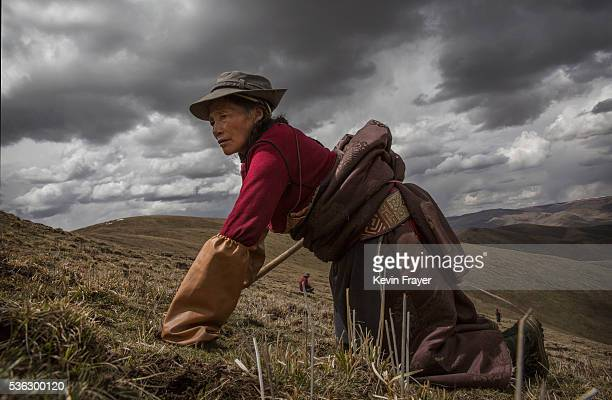 Tibetan nomad woman crawls on her knees while harvesting cordycep fungus at high altitude on May 20 2016 near Sershul on the Tibetan Plateau in the...